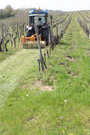 mowing grass: a tractor mowing grass in the vines