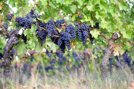 bunchy: Vides de uva roja Foto de archivo