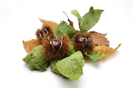 husk: Chestnuts in their shells