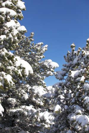laden: Snow laden trees