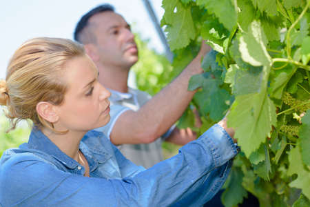 assessing: Man and woman assessing grapes on the vine Stock Photo
