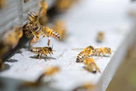 abeja: abejas