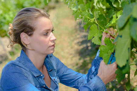 Lady picking grpaes from vine