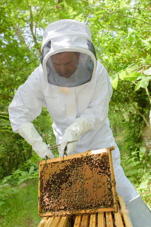 apiarist: Beekeeper holding frame from hive