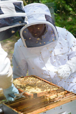 apiarist: Two beekeepers working on hive