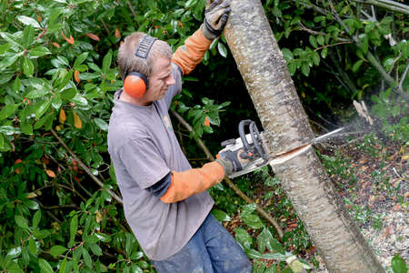 sawing: Gardener sawing a trunk Stock Photo