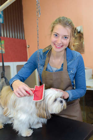 groomed: Small dog being groomed Stock Photo