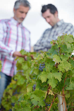fungicide: in the vines Stock Photo