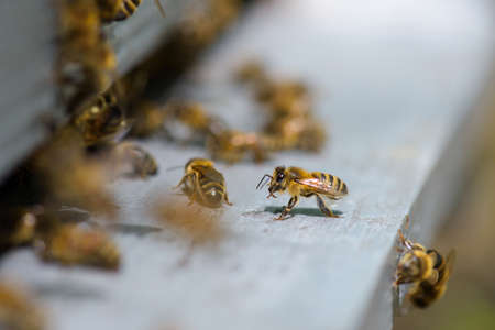 industrious: Closeup of bees on hive