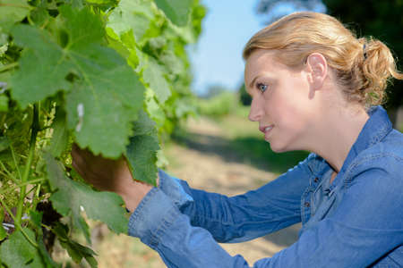 blonde females: Woman inspecting grapes Stock Photo