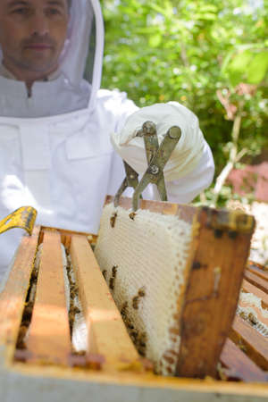 seize: Beekeeper lifting out frame with metal tool