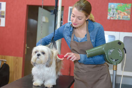 styler: Professional drying dogs hair with hairdryer