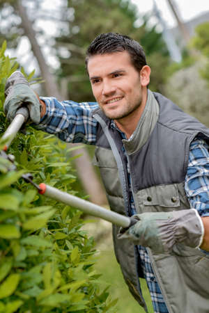 diligent: Gardener cutting hedge with secateurs