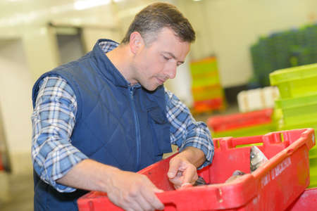 fishmonger: Fishmonger inspecting crate of fresh fish Stock Photo