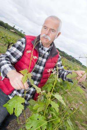 Senior viticulturist at grapevine