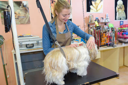 groomer: Pet groomer working with dog Stock Photo