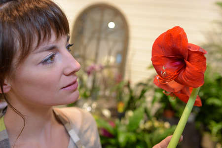 fascination: Florist looking at amaryllis lily