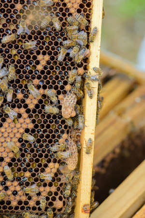 Closeup of bees in their hive