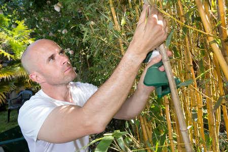 gardener inspecting bamboo stalks