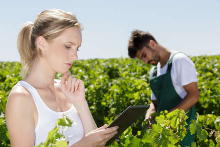 winemarkers in vine rows checking grapes quality Banque d'images - 150552434