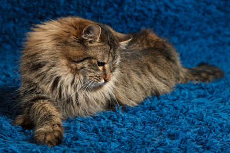 lies down: Portret fluffy cat is lying on a blue carpet