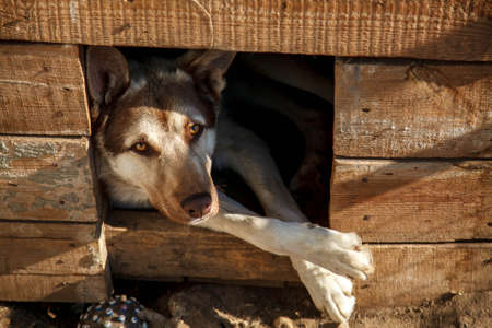 Dog in a wooden kennel