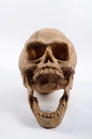anthropology: Resin skull on white background
