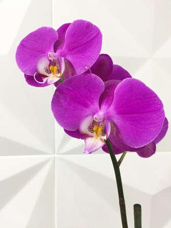 Purple orchids lit brightly against a white background. Reklamní fotografie