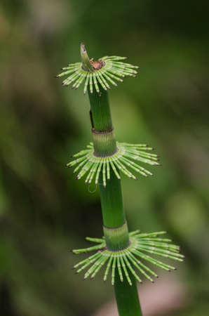 パピルスの植物の細部のショットをマクロ、自然の背景