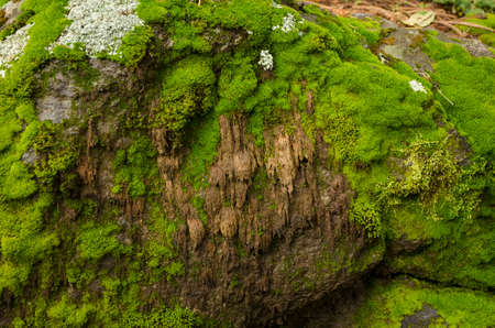 Moss and lichen covered stones. Bright green moss Background textured in nature