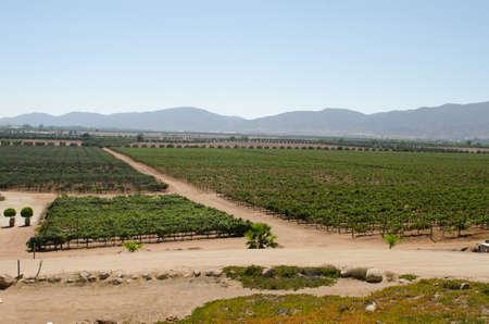 Vineyard at Valle de Guadalupe. Ensenada, Baja California, M�xico 免版税图像