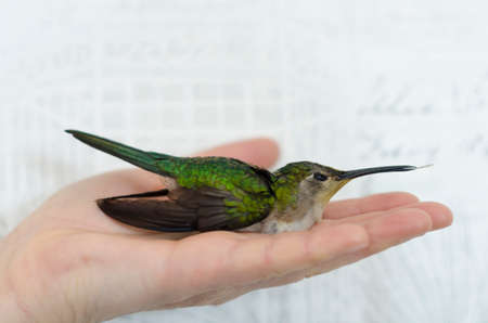 Hand holding a hummingbird against white background. Hummingbird portrait against white background
