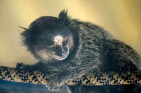 Monkey black-tufted marmoset or titi de penachos negros sitting on a rope in zoo