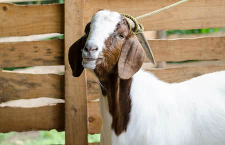 Portrait of a male brown and white goat at the farm Stock fotó