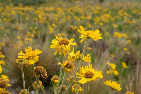 High mountain yellow flowers with blurred background and copy space Banco de Imagens