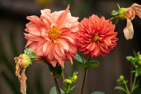 Bright and beautiful orange dahlia flowers with delicate petals