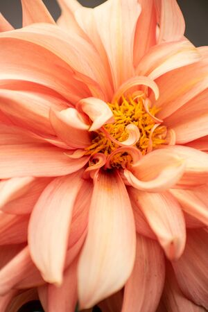 Bright and beautiful orange dahlia flower with delicate petals close up