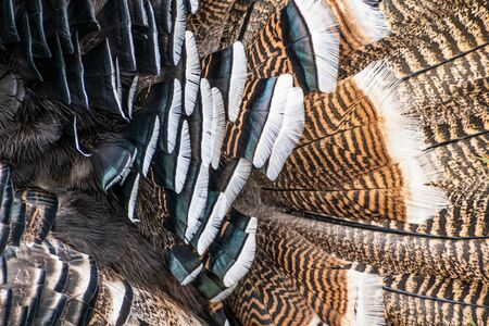 Turkey feathers close up. Brown and black turkey feathers close up