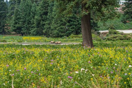 Forest landscape with pine trees, yellow and purple flowers and sheep. El Conejo, Perote, Veracruz, Mexico Stok Fotoğraf