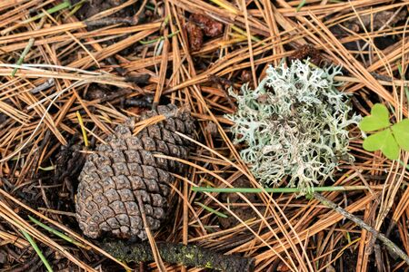 Pine cone and lichen on the floor at the woods. Details on the woods