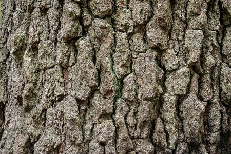 Texture of bark wood use as natural background. Rough textured knot on tree trunk closeup