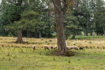Forest landscape with pine trees and sheep grazing in a cloudy day