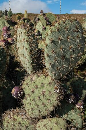 Opuntia Prickly pear cacti. Ripe fruits on prickly pear cactus.