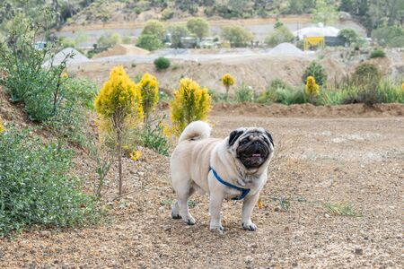 Male adult pug on a walk at the afternoon. Pug portrait