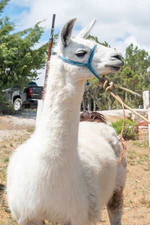 Portrait of a white llama against some threes and the vivid blue sky.