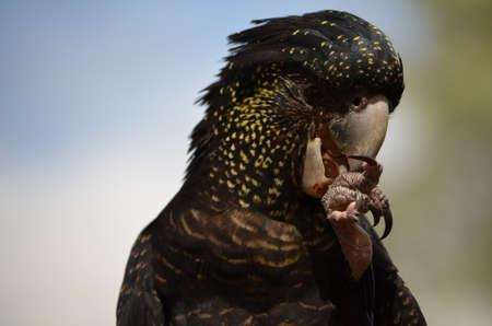 psittacidae: Black cockatoo eating