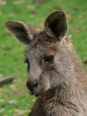 joey grey kangaroo