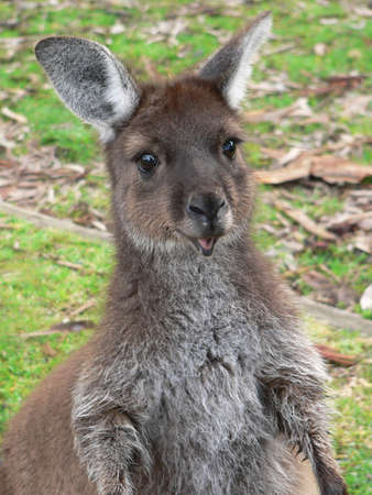 Kangaroo Island kangaroo joey 写真素材
