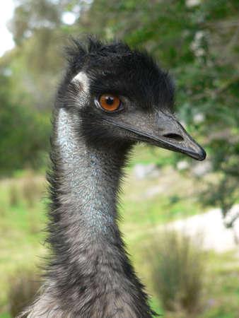 �meu: emu Banque d'images