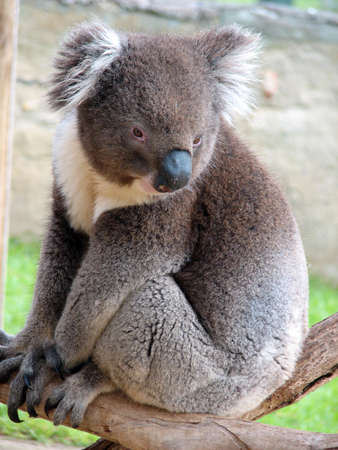 Koala sitting on a tree Stock Photo - 452700